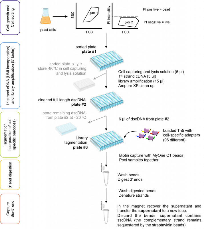Swimming Certificate Templates Free Awesome Yeast Single Cell Rna Seq Cell by Cell and Step by Step