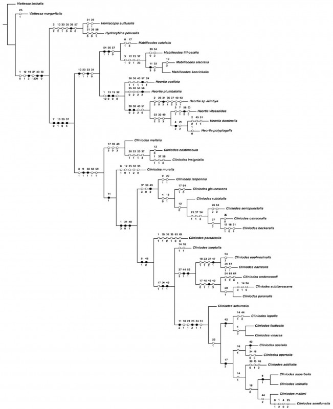 Blank Decision Tree Template Awesome Revision Of Cliniodes Guenae Lepidoptera Crambidae