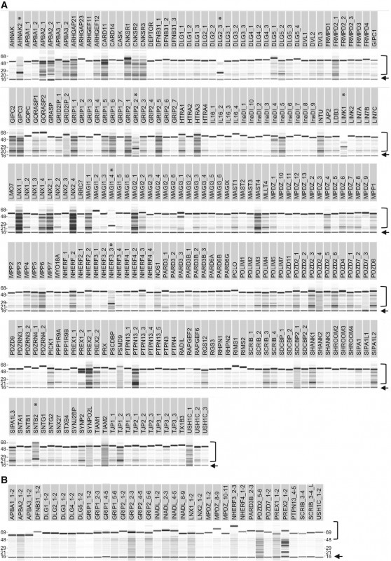 Free Labels Template 16 Per Sheet Unique High Throughput Production Of A New Library Of Human Single