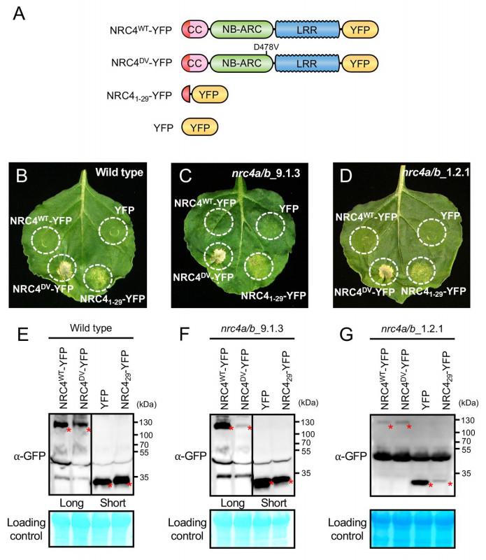 Wheel Of Life Template Blank New An N Terminal Motif In Nlr Immune Receptors is Functionally