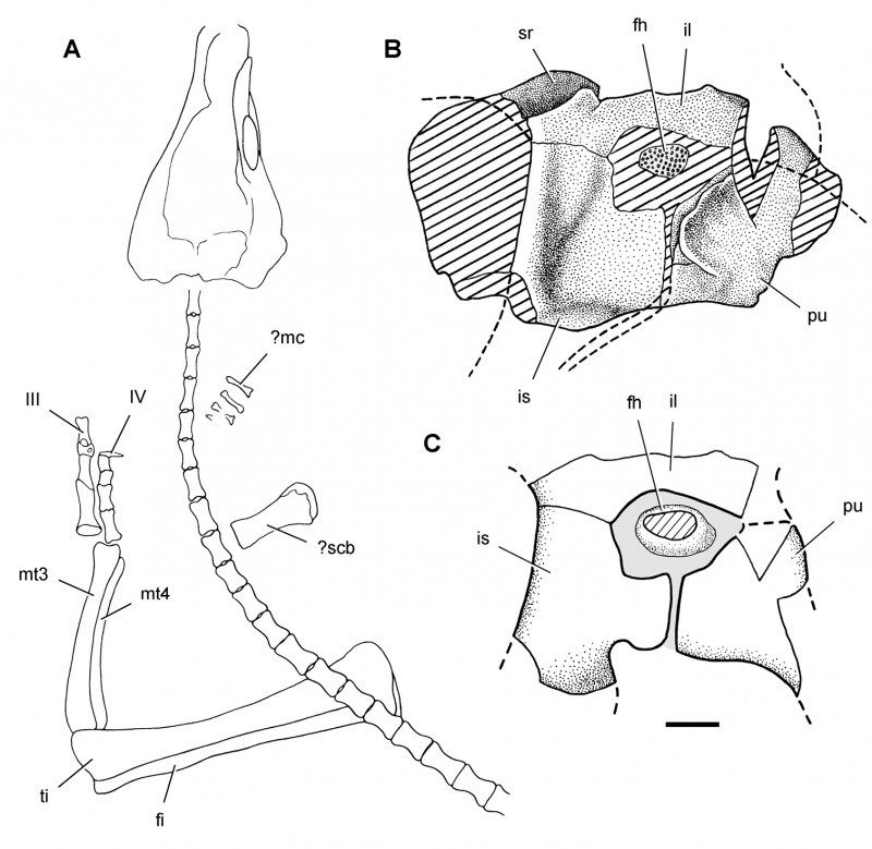 High Heel Template For Cards Unique Taxonomy Morphology Masticatory Function And Phylogeny Of